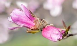 Van de Loebnermagnolia (Magnolia x loebneri) uit Gebarsten de Knoppen Royalty-vrije Stock Foto