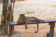 Van de luipaardpanthera van katten roofdiersri Lankan parduskotiya Wildl stock foto