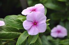 Van de maagdenpalm (Vinca) de bloemen. Royalty-vrije Stock Foto