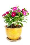 Van de maagdenpalmcatharanthus van Madagascar roseusbloemen Stock Afbeeldingen
