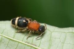 Van de mierenaka van het fluweel de koemoordenaar Stock Afbeeldingen