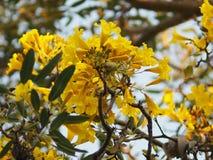 Van de de Oleander de Zoete Oleander van oleanderapocynaceae gele Bloem van Rose Bay mooi in aard stock afbeelding