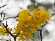 Van de de Oleander de Zoete Oleander van oleanderapocynaceae gele Bloem van Rose Bay mooi in aard stock foto