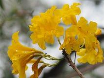 Van de de Oleander de Zoete Oleander van oleanderapocynaceae gele Bloem van Rose Bay mooi in aard stock foto's