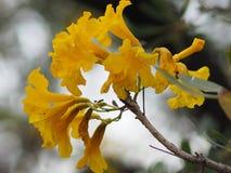 Van de de Oleander de Zoete Oleander van oleanderapocynaceae gele Bloem van Rose Bay mooi in aard royalty-vrije stock foto