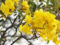Van de de Oleander de Zoete Oleander van oleanderapocynaceae gele Bloem van Rose Bay mooi in aard royalty-vrije stock foto's