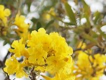 Van de de Oleander de Zoete Oleander van oleanderapocynaceae gele Bloem van Rose Bay mooi in aard royalty-vrije stock afbeelding
