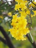 Van de de Oleander de Zoete Oleander van oleanderapocynaceae gele Bloem van Rose Bay mooi in aard royalty-vrije stock fotografie