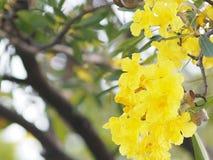 Van de de Oleander de Zoete Oleander van oleanderapocynaceae gele Bloem van Rose Bay mooi in aard royalty-vrije stock afbeeldingen