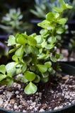 Van de Olifantsbush van Portulacariaafra de Succulente Installatie Royalty-vrije Stock Foto