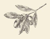 van de olijftak (olijfboomtakken) de uitstekende illustratie, gegraveerde retro stijl, getrokken hand Stock Foto