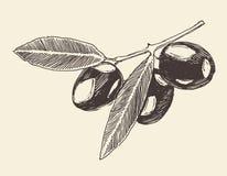 van de olijftak (olijfboomtakken) de uitstekende illustratie, gegraveerde retro stijl, getrokken hand Royalty-vrije Stock Foto
