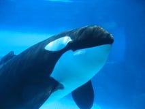 Van de orka (orka) onderwater zwemmen Stock Afbeelding