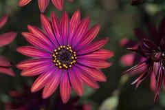 Van de Osteaspermum de 'Elite Robijnrode' Bloemen Royalty-vrije Stock Foto's