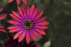 Van de Osteaspermum de 'Elite Robijnrode' Bloemen Royalty-vrije Stock Afbeelding