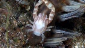 Van de overzeese triloba van Porcellanella penkrab op zachte koraal overzeese pen in Lembeh-Straat Sulawesi stock video