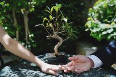 Van de paarbruid en bruidegom handen, op achtergrond een kleine bonsai - conceptueel beeld Royalty-vrije Stock Foto