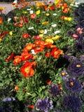 Van de papaversgeel van het tuinbed de rode zonnige bloemen van het groen purpere stammen Royalty-vrije Stock Foto