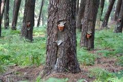 Pijnboom-boom harsextractie Stock Foto's