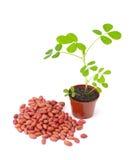 Van de pinda (arachis) de zaden en de groente Stock Foto's