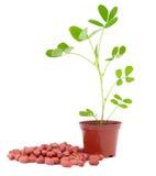 Van de pinda (arachis) de zaden en de spruit Stock Afbeeldingen