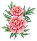 Van de pioen de roze groene bladeren van de waterverfbloem decoratieve uitstekende die illustratie op witte achtergrond wordt geï Stock Foto's