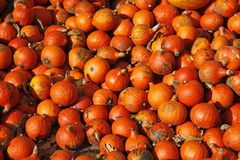 Van de pompoen (Pompoen) de oogst in de herfst Royalty-vrije Stock Afbeelding