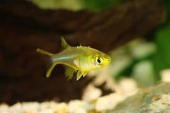 Van de Regenboogvissen van Celebes ladigesi rainbowfish zoetwater tropisch van Marosatherina royalty-vrije stock foto