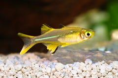 Van de Regenboogvissen van Celebes ladigesi rainbowfish zoetwater tropisch van Marosatherina royalty-vrije stock afbeeldingen
