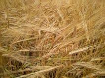 Van de de roggebloem van het roggebrood het gebiedslandbouw royalty-vrije stock foto