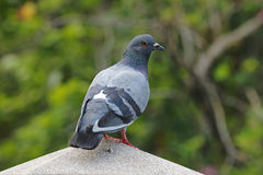Van de de Rotsduif van de rotsduif Vogels van Columba livia de Mannelijke Mooie van Thailand Stock Fotografie