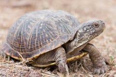 Van de schildpadterrapene van de woestijndoos ornataluteola is een ondersoort van doosschildpad die aan zuidwestelijk endemisch i stock afbeelding