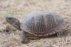 Van de schildpadterrapene van de woestijndoos ornataluteola is een ondersoort van doosschildpad die aan zuidwestelijk endemisch i royalty-vrije stock afbeeldingen