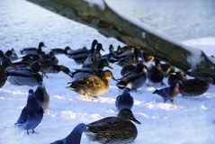 van de de sneeuwwinter van vogelseenden koud de dagzonlicht Stock Afbeeldingen