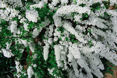 Van de Spiraea de alpiene (meadowsweet) lente bloem, witte tot bloei komende struik Royalty-vrije Stock Foto's