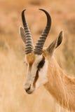 Van de springbok (marsupialis Antidorcas) het portret Stock Foto