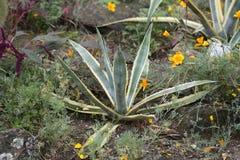 Van de steelwenen van de agaveinstallatie de botanische tuin Royalty-vrije Stock Afbeeldingen