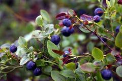 Van de de struikheide van de bosbessenbes de blauwe geneeskrachtige vitaminen van de de installatiejam eetbare stock afbeelding
