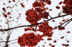 van de de tak boswinter van lijsterbes rode bessen van het de sneeuw koude weer het onduidelijke beeldachtergrond royalty-vrije stock foto's