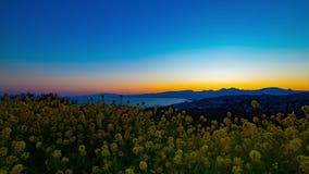Van de tijdspannecanola van de zonsondergangtijd de de bloemtuin bij Azumayama-park in Shounan Kanagawa schoot wijd panning stock video