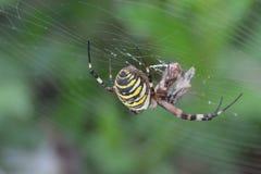 Van de tijgerspin of wesp spin of Argiope-bruennichii Stock Afbeeldingen