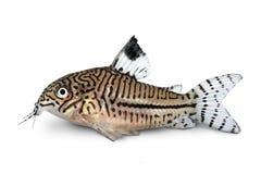 Van de trilineatuskatvis van luipaardcory corydoras julii zoetwater het aquariumvissen royalty-vrije stock afbeelding