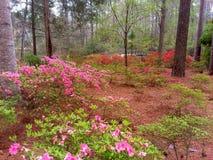 Van de de Tuinenpijnboom van Callaway van de lenteazalea's de Berg Georgië stock afbeelding
