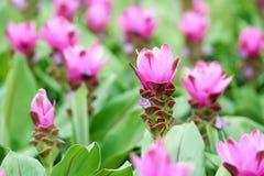 Van de tulpenflowerscurcuma van Siam aeruqinosa Roxb kiezelsteenbloemen op het gebied van bloemen Royalty-vrije Stock Foto's