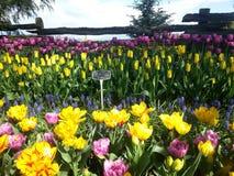 Van de Tulpenroozengaarde van Seattle de Vertoningstuin Stock Foto