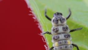 Van de twee-vlek de close-upmacro 01 onzelieveheersbeestjelarve stock videobeelden
