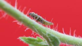 Van de twee-vlek de close-upmacro 03 onzelieveheersbeestjelarve stock video