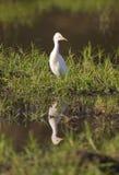 Van de veeaigrette (Bubulcus-ibis) de bezinning Royalty-vrije Stock Foto