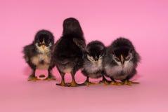 van de vier kippen die zich op een rij bevinden, zich wendde één af, en één liep terug en ging naar het toilet op een roze achter royalty-vrije stock foto's