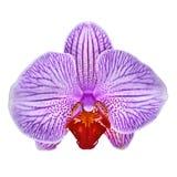 Van de violetkleurige isoleerde de witte bloem sangriaorchidee witte achtergrond met het knippen van weg Het close-up van de bloe royalty-vrije stock afbeelding